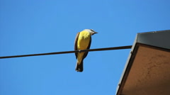 Brazilian Bird Sitting On the electrical wiring - Yellow Great Kiskadee  Stock Footage