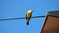 Stock Video Footage of Brazilian Bird Sitting On the electrical wiring - Yellow Great Kiskadee