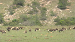 AERIAL South Africa-Zebra And Wildebeest In Shamwari Reserve Stock Footage