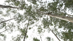 Eucalyptus leaf green tree against sky Stock Footage