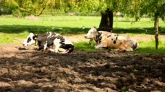 Two cows relax on a grassfield Stock Footage