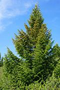 Beautiful slender spruce in the Siberian taiga. Siberia. Khakassia. Stock Photos