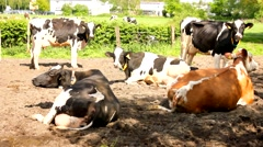 Many cows relax on grassfield and earth Stock Footage