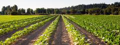 Planted Rows Herb Farm Agricultural Field Plant Crop Stock Photos