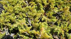 Evergreen juniper branches. Background. Siberia. Khakassia. - stock photo