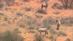 AERIAL South Africa-Gemsbuck (Oryx Gazella) Stock Footage