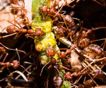 Red ant hunting insect Stock Photos