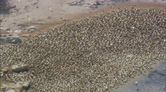 AERIAL South Africa-Gannet Breeding Colony Stock Footage