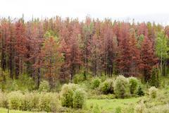 Mountain Pine Beetle killed pine forest Stock Photos