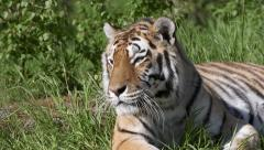 Tiger looking around Stock Footage