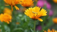 Bright Flower & Caterpillar (no grade) Stock Footage