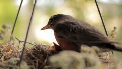 Bird (Robin) Tending Chicks Then Flying Away Stock Footage