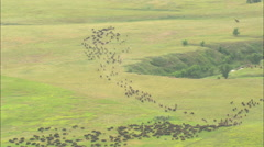 AERIAL United States-Riders Driving Bison Herd Stock Footage