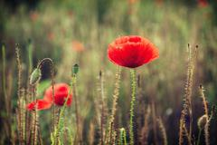 Beautiful red corn poppy flowers (Papaver rhoeas) - stock photo