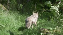 Wolf male running dorsal view hide in forest - stock footage