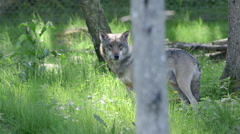 Wolf male in forest watching running out of frame - stock footage