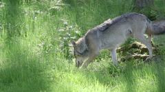 Wolf male in forest walking hides behind branches and leafs - stock footage