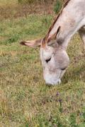 Portrait of a donkey eating grass Stock Photos