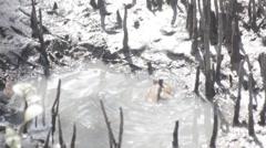 Mudskipper in mangrove forest, video HD Stock Footage