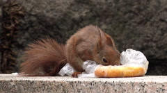 Red Squirrel Feeding with Fast Food Leftovers Stock Footage