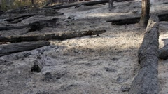 Burned trees after a wildfire tilting shot Stock Footage