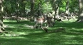 4k Red Deers eating in sunny oak and beech forest glade Footage