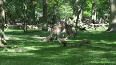 4k Red Deers eating in sunny oak and beech forest glade Stock Footage