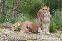 Large lioness in green environment - stock photo