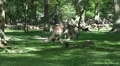 Red Deers eating in sunny oak and beech forest glade Footage