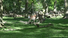 Red Deers eating in sunny oak and beech forest glade Stock Footage