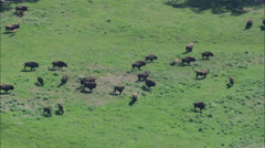 AERIAL United States-Buffalo Grazing In Lamar Valley Stock Footage