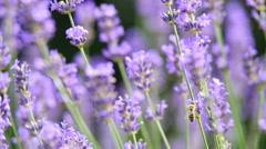 Lavender background with bee Stock Footage