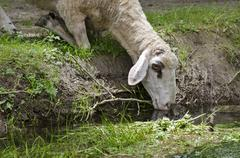 Sheep in the summer afternoon on a watering place - stock photo