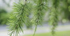 Larch tree with cones in summer day Stock Footage