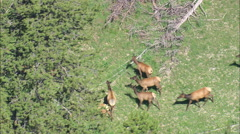 AERIAL United States-Elk Moving In The Trees Stock Footage