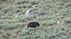 AERIAL United States-Black Bear Slowly Heading For The Woods Stock Footage