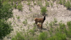 AERIAL United States-Female Elk And Calf Stock Footage