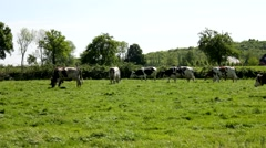 Many cows on a grassfield Stock Footage
