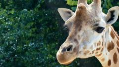 Biting Giraffe (Giraffa camelopardalis rothschildi) Stock Footage