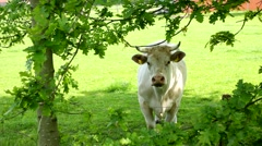 A white bull on a grassfield protect his range - stock footage
