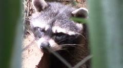 3940 Board Raccoon in Captivity in Nicaragua, HD Stock Footage