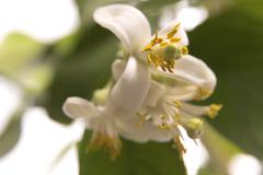 blossoming lemon tree - stock photo