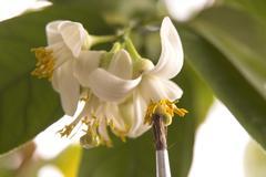 lemon tree. pollen - in vitro :) - stock photo