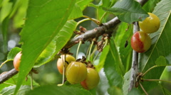 Stock Video Footage of yellow reddish cherries on cherry tree in windy wheather