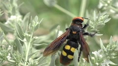Large wasp hornet macro sitting on green flower Stock Footage