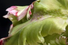 green aphids and tulip - stock photo