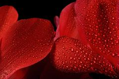 Stock Photo of Extreme macro detail of a cyclamen flower
