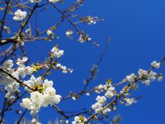 CHERRY-TREE WHITE FLOWERS - stock photo