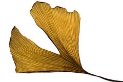 Herbs - dried gingko biloba leaf Stock Photos