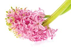 Pink hyacinth isolated on the white background Stock Photos